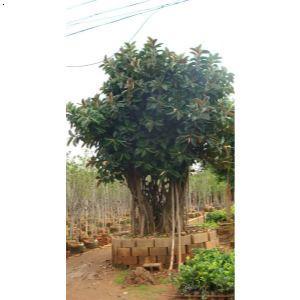 【橡皮树】厂家,价格,图片_宜良县匡远镇叶氏苗圃