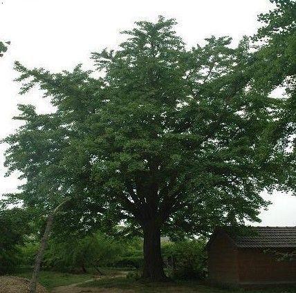 樱桃树 栽培管理技术图片