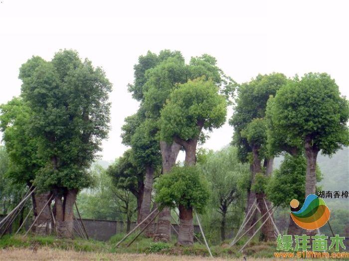 必途 找产品 树木盆景 >湖南香樟