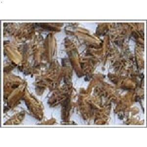 蟑螂的危害与防治_【别墅跳蚤潮虫蟑螂老鼠白蚁防治灭白蚁杀白