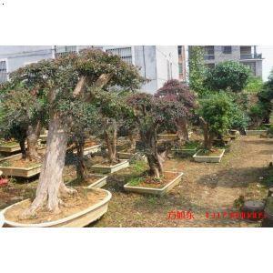 【红花继木】厂家,价格,图片_金华市树桩盆景园_必途网