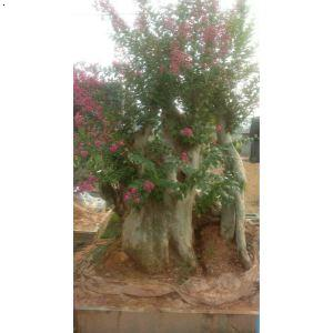【紫薇树桩】厂家,价格,图片_伟哥树桩盆景园_必途网