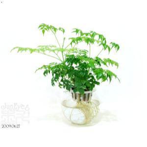 大连幸福树(微型)