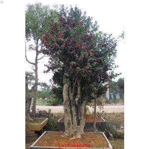 【无刺枸骨】厂家,价格,图片_金华市树桩盆景园_必途网