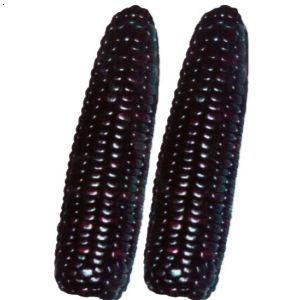 黑玉米种子