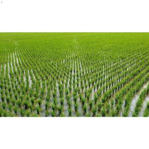 一片水稻简笔画
