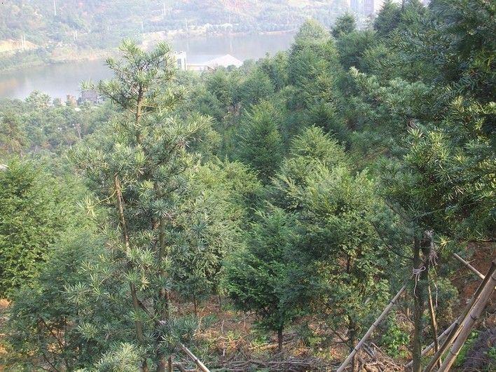 四季金花茶,广玉兰,红叶石楠,红花继木,榔树,无患子,香泡,栾树,各种
