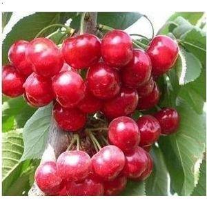 樱桃树价格 樱桃树图片大全 樱桃树发芽图片