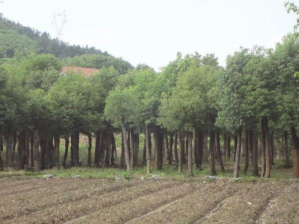 清香树移栽步骤图片
