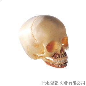 儿童头颅骨模型儿童头骨颅骨解剖模型骨骼模