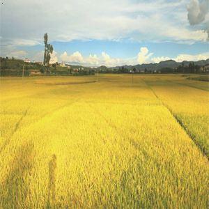 黑龙江|黑龙江稻花香米|五常大米