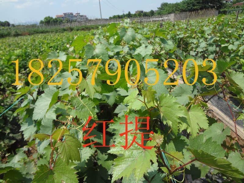 金华葡萄苗|金华葡萄苗基地|浙江
