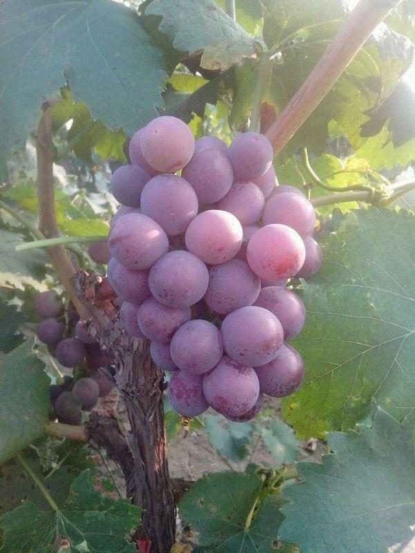 河北/河北有哪些巨峰葡萄厂家?...