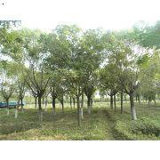 【大栾树】厂家,价格,图片