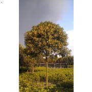 8公分高分枝长柄金桂开花状