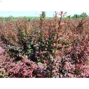 壁纸 成片种植 风景 花 植物 种植基地 桌面 300_300