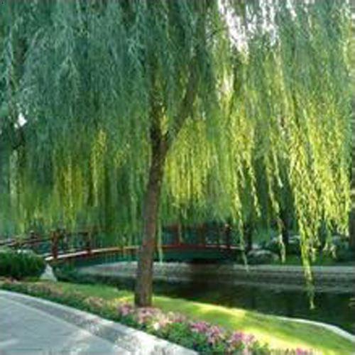 乡村垂柳稻田风景图片