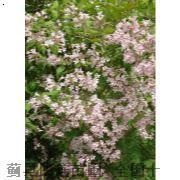 猥实-天津白蜡种植-蓟县白蜡种植-天津白蜡种植