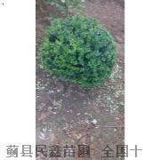 卫矛球-天津白蜡种植-天津白蜡种植-蓟县白蜡树