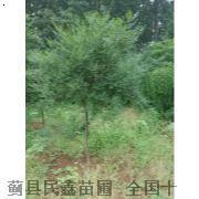 文冠果-蓟县白蜡树-蓟县白蜡种植-天津白蜡种植