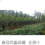 西府海棠-蓟县白蜡-天津白蜡树-天津白蜡种植