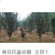 西府海棠-蓟县白蜡-蓟县白蜡种植-天津白蜡种植