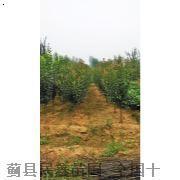 绚丽海棠-天津白蜡-天津白蜡种植-蓟县白蜡树