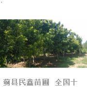 玉兰-天津国槐树-天津国槐种植-蓟县国国槐