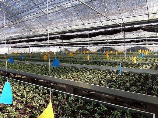 石斛生产大棚石斛种