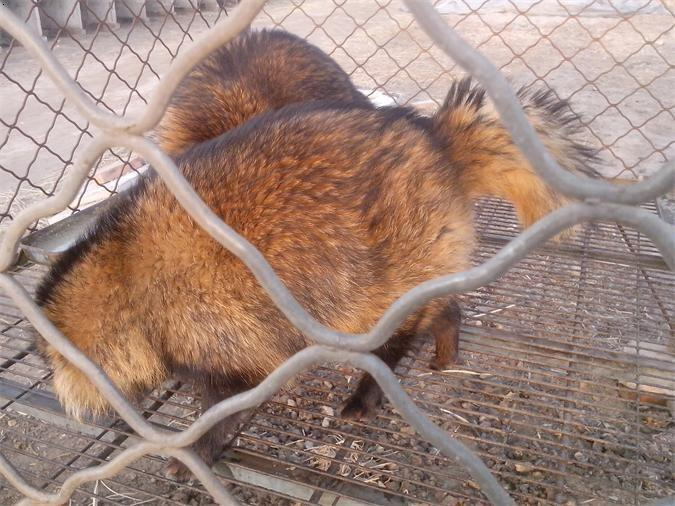 唐山市乐亭县是珍稀皮毛动物大量养殖基地