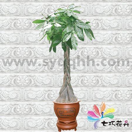 花卉知识 马拉巴粟百科知识      马拉巴粟在南方格称发财树,属木棉
