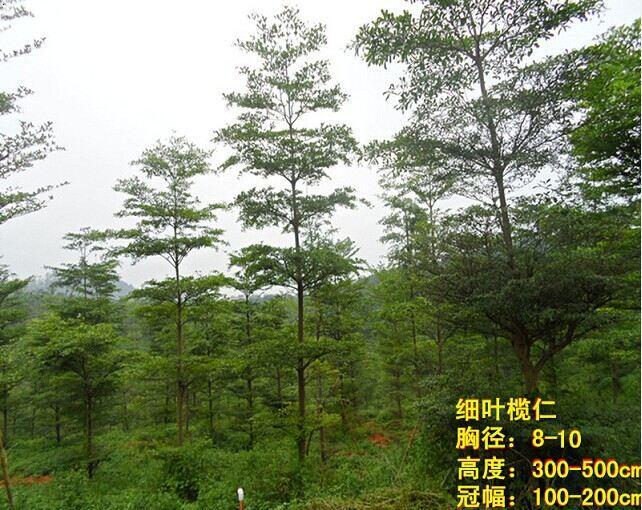 搜索结果 细叶榄仁,别名:小叶榄仁,非洲榄仁,雨伞树