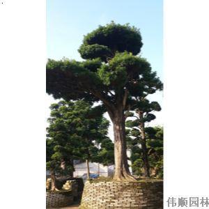 【风景树】厂家,价格,图片_伟顺园林_必途网