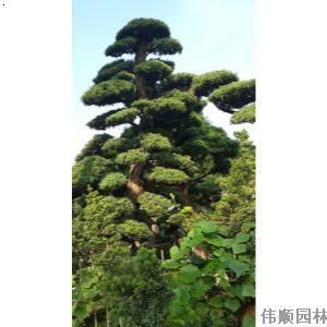 风景树  价      格: 面议 品      牌: 伟顺园林 所  在  地: 广东省