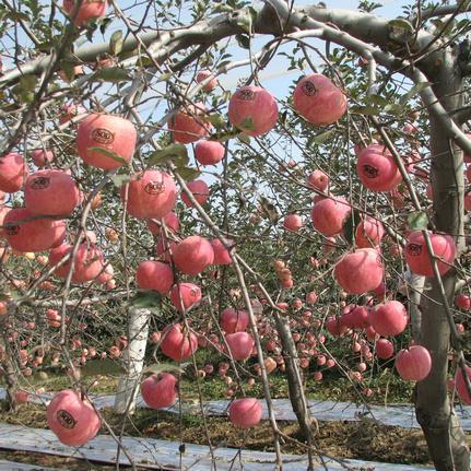 无公害苹果