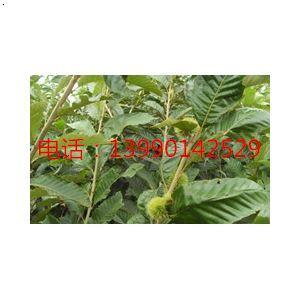 绵阳板栗树苗基地,绵阳板栗苗批发,绵阳板栗苗种植