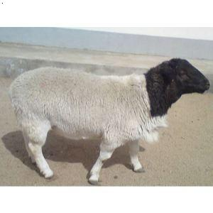 黑头萨福克羊|黑头萨福克羊养殖|黑头萨福克羊价格