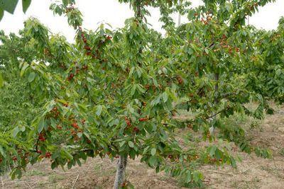 唐山樱桃采摘园