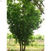 丛生蒙古栎,天津丛生蒙古栎,天津蒙古栎