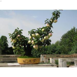 【苹果盆景】厂家,价格,图片_李国树_必途网