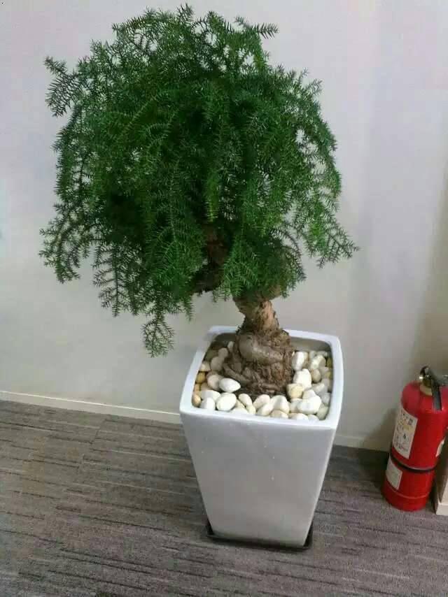 产品展示 绿植租摆 澳洲杉  澳洲杉,常绿乔木,一般盆栽为幼树,高在2