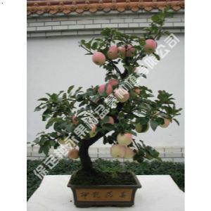 【苹果盆景】厂家,价格,图片_保定市艳永果树盆景种植