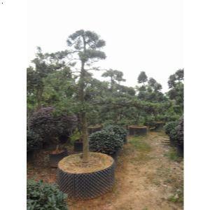 盆景 盆栽 树 松 松树 植物 300_300