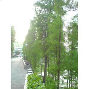 水杉 水杉树