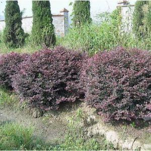 紫叶小檗球 大连登沙河连发苗圃
