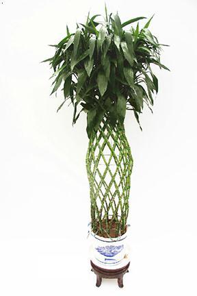 是由几十棵富贵竹编制而成的_美美编织
