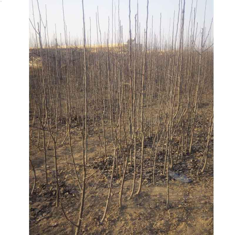 河北|杜梨苗价格|哪里种植杜梨苗