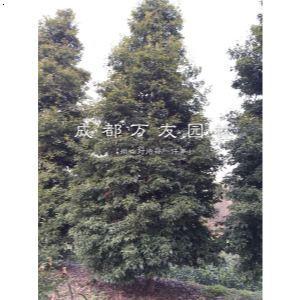 【小叶金丝楠木】厂家,价格,图片_成都万友园林_必途网