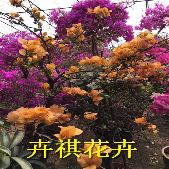 三角梅盆景