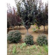 紫叶李|大连苗圃|大连苗木|大连绿化苗